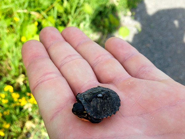 Baby turtle on the Millennium Trail